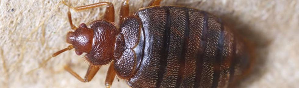 Bed Bug Closeup Picture